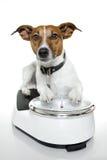 Dog scale. Dog on a white analog scale Stock Image