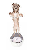 Dog on a scale with measuring tape. A dog standing up on a weight scale while holding a measuring tape around his waist Royalty Free Stock Image