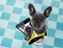Dog on scale , with overweight. French bulldog  dog with guilty conscience  for overweight, and to loose weight ,  on a personal  scale, isolated on white Royalty Free Stock Photography
