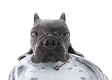 Dog on scale , with overweight. French bulldog  dog with guilty conscience  for overweight, and to loose weight ,  on a personal  scale, isolated on white Royalty Free Stock Images