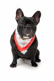 Dog with scarf. French bulldog with colored scraf royalty free stock photography