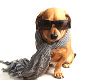 Dog and scarf Royalty Free Stock Photo