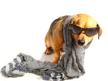 Dog and scarf Stock Photography