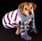 Dog and scarf Royalty Free Stock Image