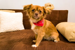 Dog with scarf posing on couch Stock Photo