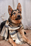 Dog with scarf Royalty Free Stock Photo