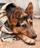 Dog with scarf Royalty Free Stock Image