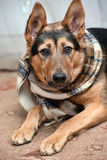 Dog with scarf Stock Photo