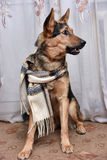 Dog with scarf Stock Images