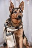 Dog with scarf Stock Photos