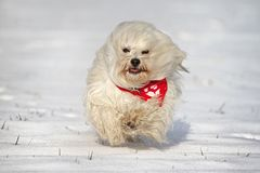 Dog with scarf in the snow Royalty Free Stock Photos