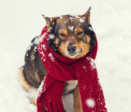 Dog with scarf tied around the neck sitting in snow Stock Images