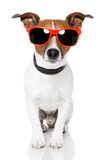 Dog with  schades Royalty Free Stock Photography