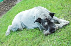 Dog Schnauzer. Lying on the grass royalty free stock images
