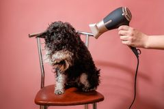 Dog schnauzer on pink background and hair dryer in female hand, dog is afraid to dry wool royalty free stock photo