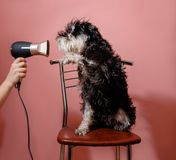 Dog schnauzer on pink background and hair dryer in female hand royalty free stock photo