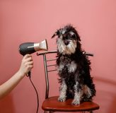 Dog schnauzer on pink background and hair dryer in female hand stock photos