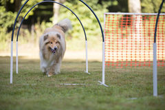 Dog, Scottish Collie, hooper competition. Scottish Collie in hooper competition Stock Photography