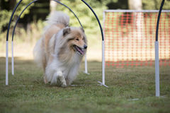 Dog, Scottish Collie, hooper competition. Scottish Collie in a hooper competition Stock Image