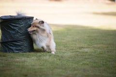Dog, Scottish Collie, training hoopers Royalty Free Stock Images