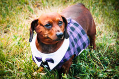 A dog in a Scottish kilt. Stands on a green lawn grass Royalty Free Stock Photography