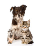 Dog and Scottish kitten. looking at camera. isolated Royalty Free Stock Photo