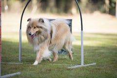 Dog, Scottish Sheepdog, training hoopers Stock Photography