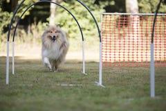 Dog, Scottish Sheepdog, training hoopers Royalty Free Stock Images