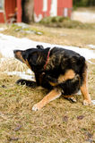 Dog scratching. Female dog scratching herself on the grass royalty free stock images