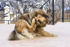Dog Scratching Flea. Tibetan Mastiff Dog Scratching Flea stock image