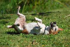Dog scratching his back Royalty Free Stock Photo