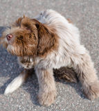 Dog scratching Royalty Free Stock Photography