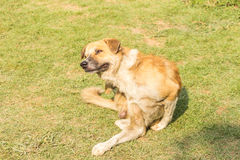 Dog scratching an itch. Stock Image