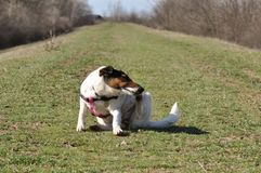 Dog scratching itself. Cute dog sitting and scratching itself in nature. Smooth Fox Terrier stock photo