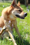 Dog scratching. Photo of a dog scratching their front leg Stock Image