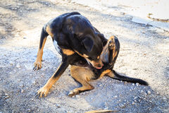 Dog scratching. Stray dog scratching himself agains fleas royalty free stock image