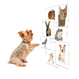 Dog Scrolling Pet Photo Wall. Funny image of a small dog scrolling through a digital photo wall stock photography