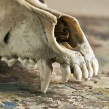 Dog scull without lower jaw stock images