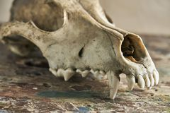 Dog scull without lower jaw. On shabby wooden surface close up royalty free stock photo