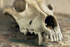 Dog scull without lower jaw. On shabby wooden surface close up stock photos