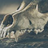 Dog scull without lower jaw. On shabby wooden surface close up stock images