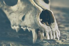 Dog scull without lower jaw. On shabby wooden surface close up royalty free stock photos