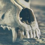 Dog scull without lower jaw. On shabby wooden surface close up royalty free stock photography