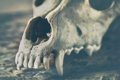 Dog scull without lower jaw. On shabby wooden surface close up stock photo