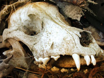Dog scull. Old scull of a little dog found in trash. Some teeth are missing Stock Image