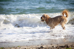 Dog on the sea Stock Image