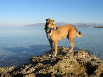 A dog by the sea. A dog standing on a rock by the sea stock image