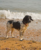 Dog by the sea. A wet but happy dog playing by the sea stock photo
