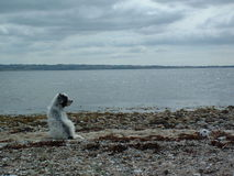 Dog by the sea royalty free stock photos