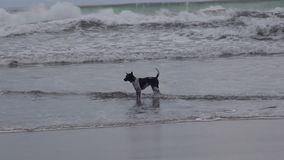 A dog in the sea. A dog on the beach is standing in the sea and waiting for the owner stock video